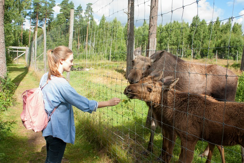 Feeding the moose